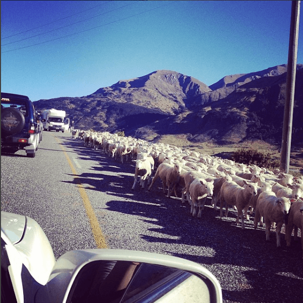 A traffic jam caused by sheep in New Zealand!